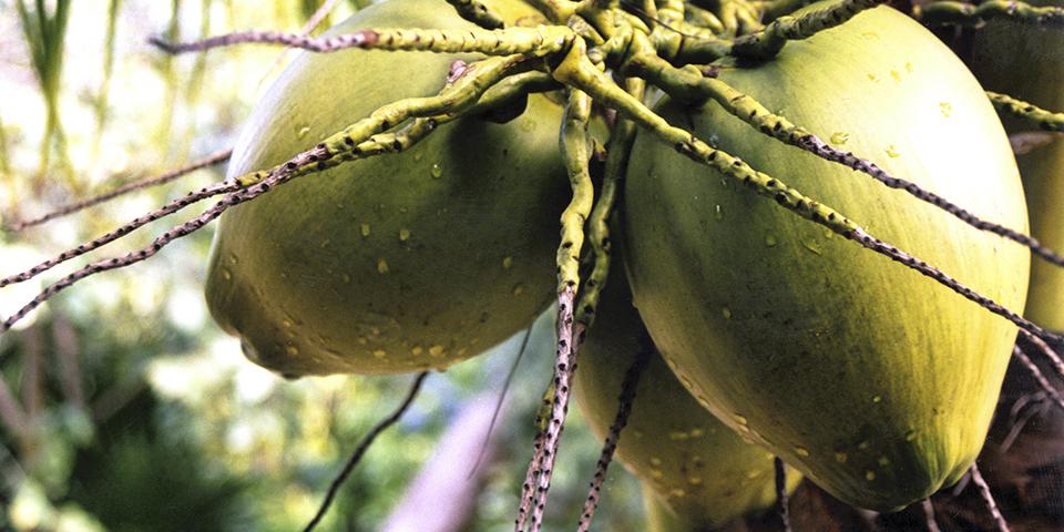 kókuszdió a fán